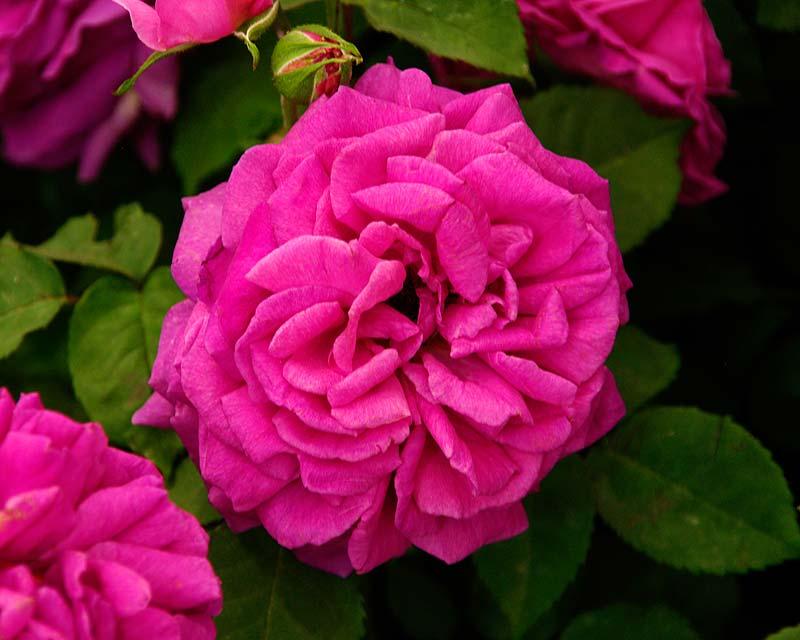 Rosa Bournbon Madame Isaac Periere