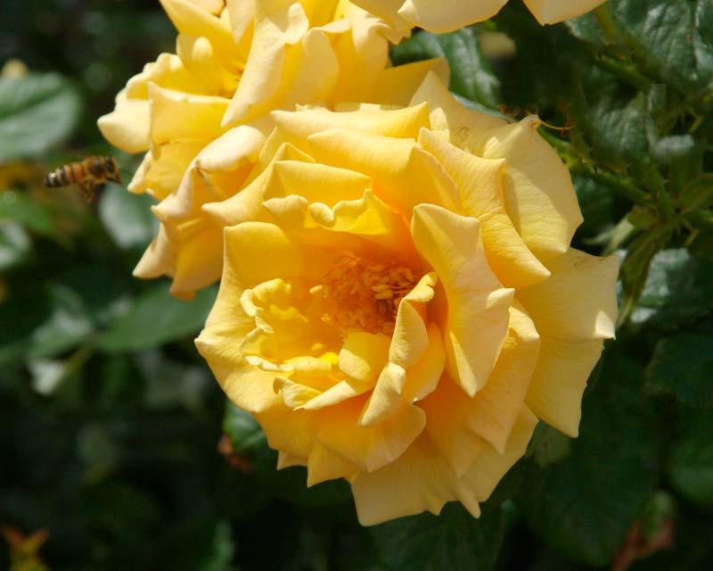 Rosa Floribunda Golden Girls