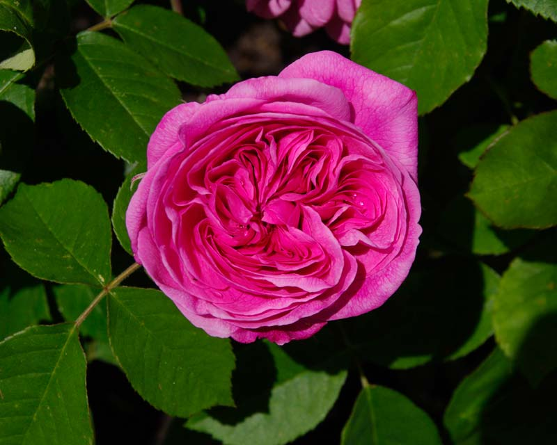 Gertrude Jekyll rose at Losely Park