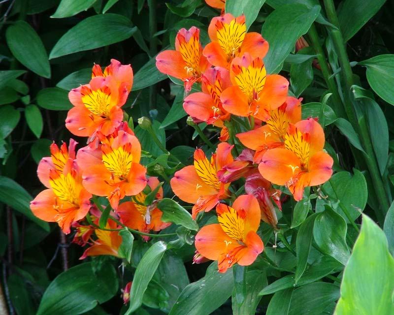 Saville Gardens Herbacious Borders -Alstromeria Flaming Star