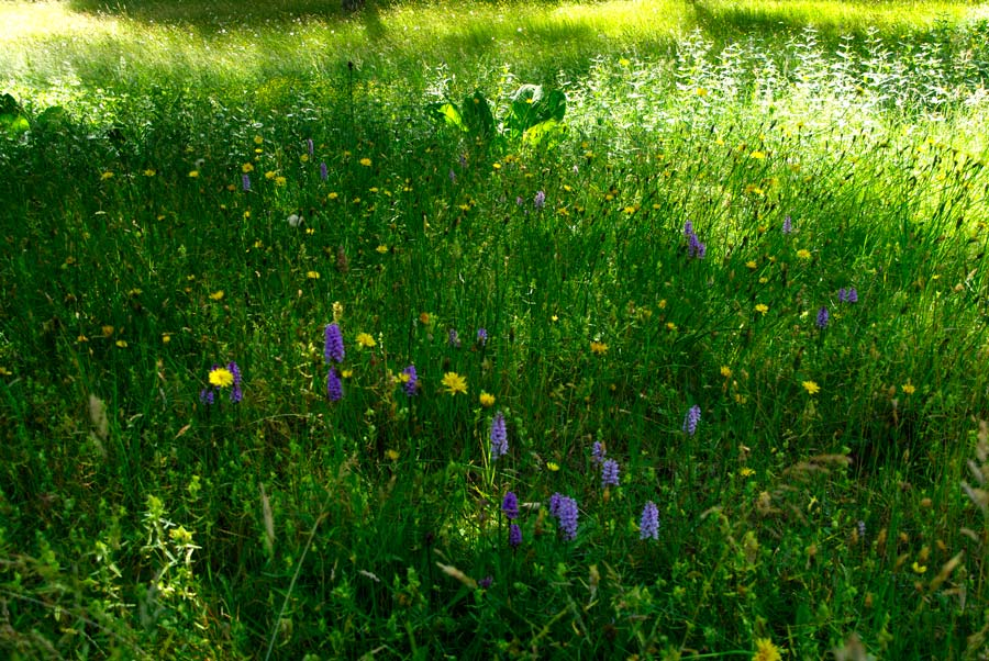Savill Garden - The Alpine Meadow - The mauve flower spikes of Black Spotted Orchids
