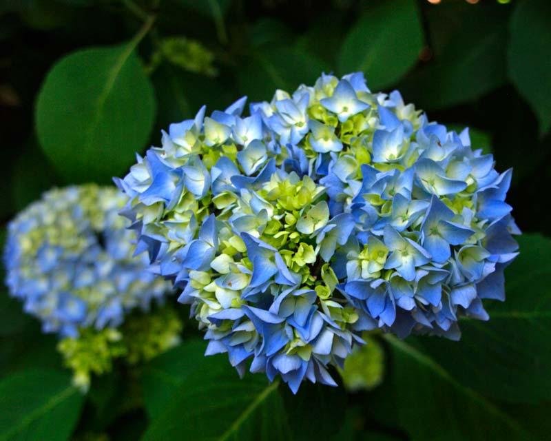Savill Gardens - Hydrangea macrophylla Madame Fausten Travouillon