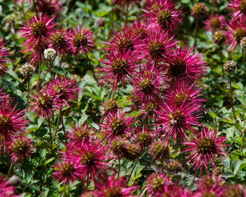Savill Garden - The New Zealand Garden - Acaena novae zelandiae known in NZ as Piri Piri