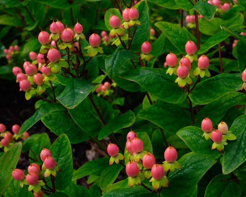 Savill Gardens - bright pink seed heads of Hypericum X indorum Magical Beauty