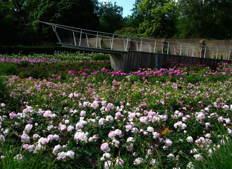Savill Gardens Rose Garden