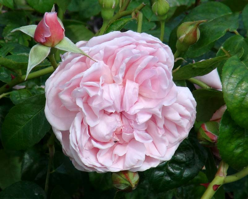 Savill Rose Garden - delicate pink blooms of Rosa Austin Strawberry Hill
