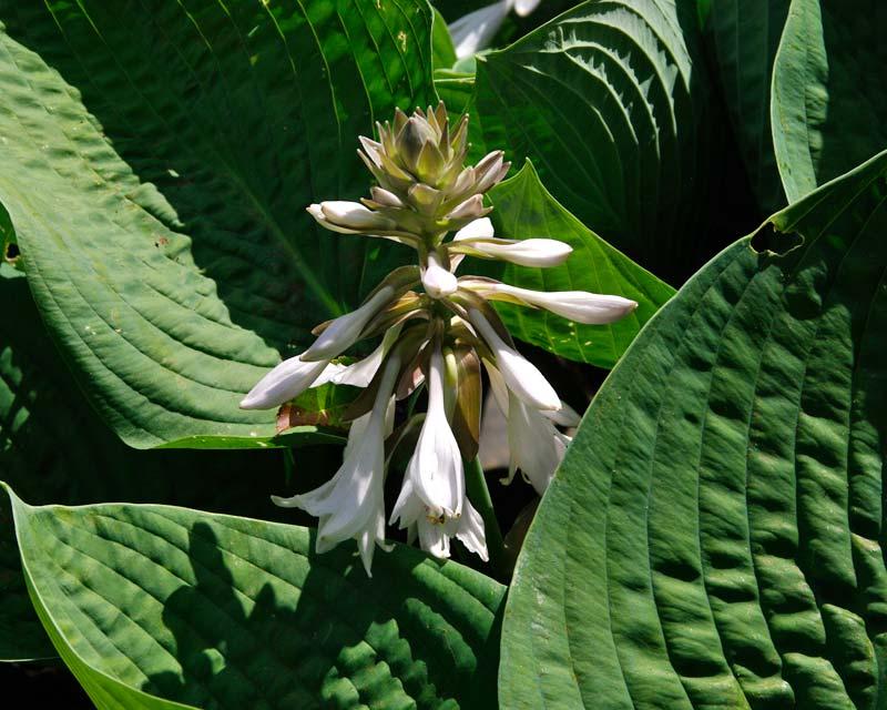 Savill Gardens Spring Wood Hosta sieboldiana - very pale mauve flowers