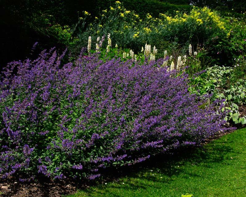 Savill Gardens Summer Border Salvia nemorosa Walkers Low