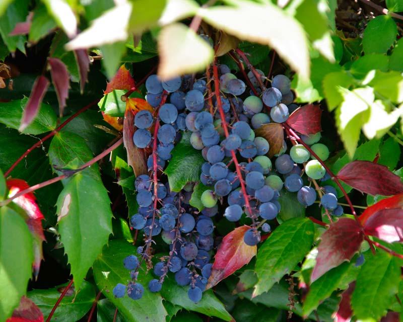 Savill Gardens - deep purple berries of Mahonia nervosa