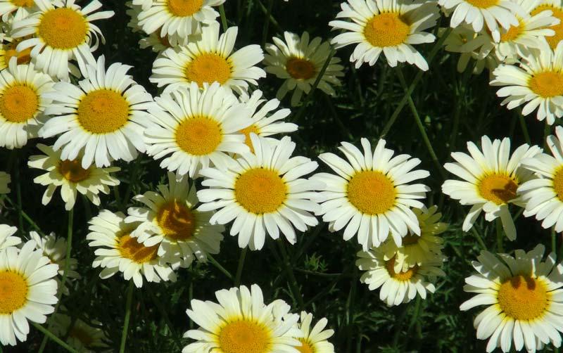 Anthemis tinctoria Lemon Ice - Sir Harold Hillier Gardens