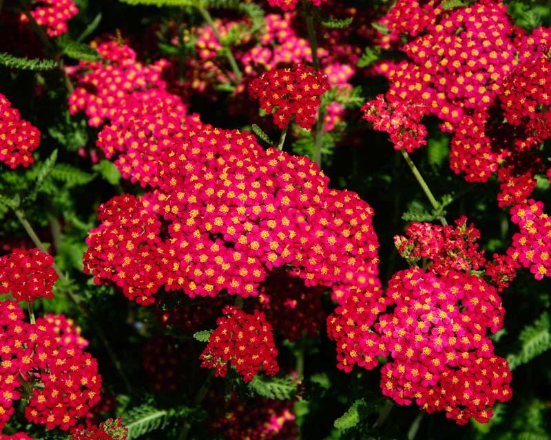 Achillea Paprika - Sir Harold Hillier Gardens
