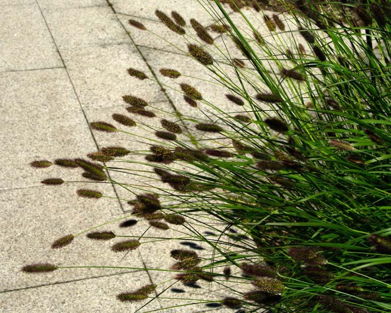 Pennisetum thunbergii Red Buttons - Sir Harold Hillier Gardens