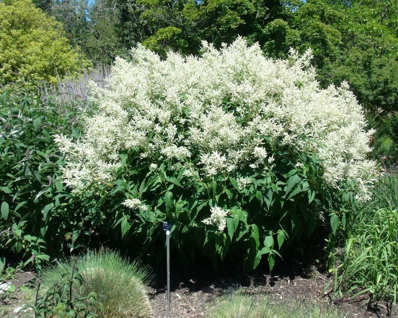 Persicaria alpina - Sir Harold Hillier Gardens