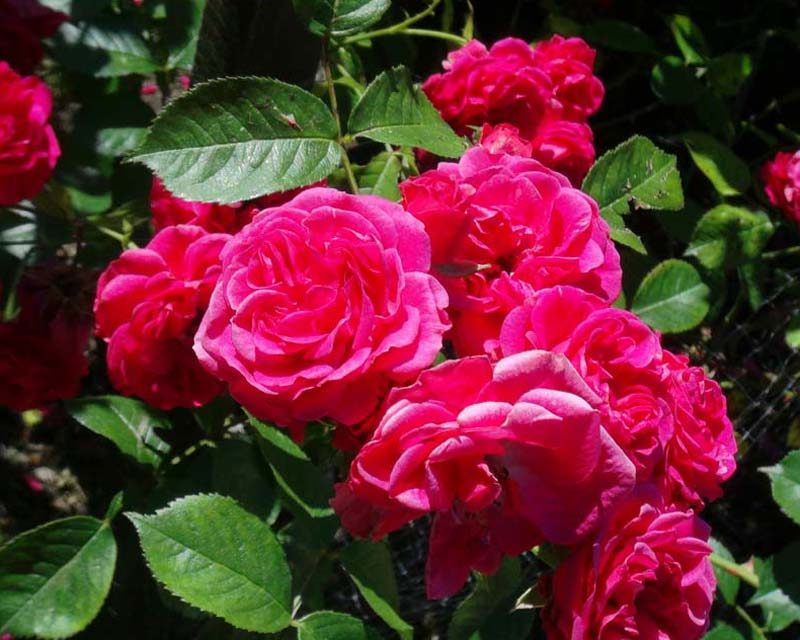 Rosa Elmshorn - Sir Harold Hillier Gardens
