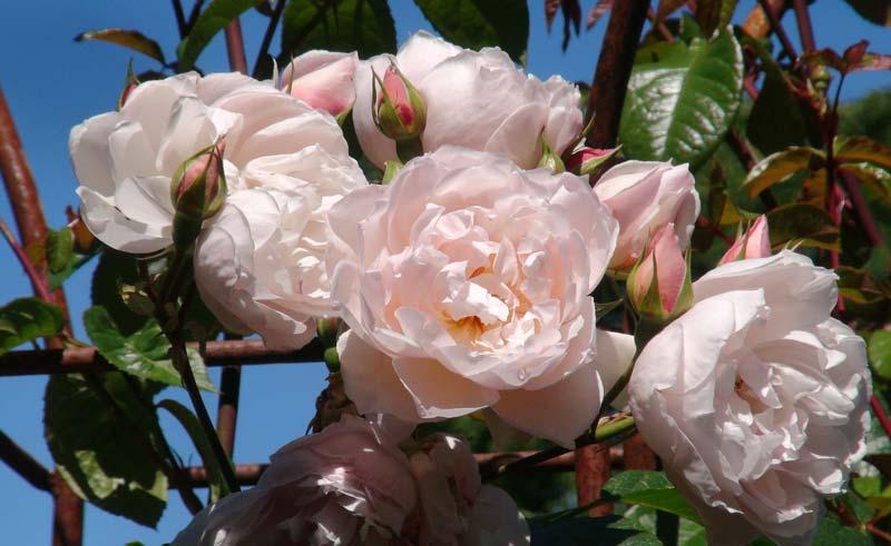 Rosa The Generous Gardener - Sir Harold Hillier Gardens