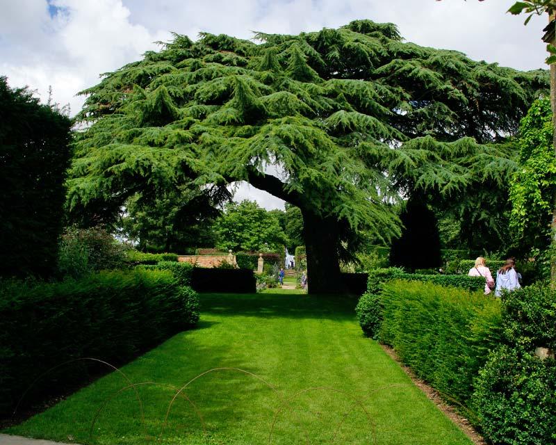 Hidcote - the famous Cedar