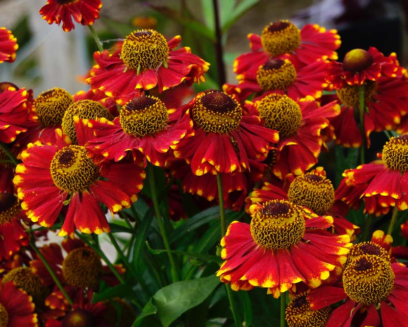 Helenium at Hidcote