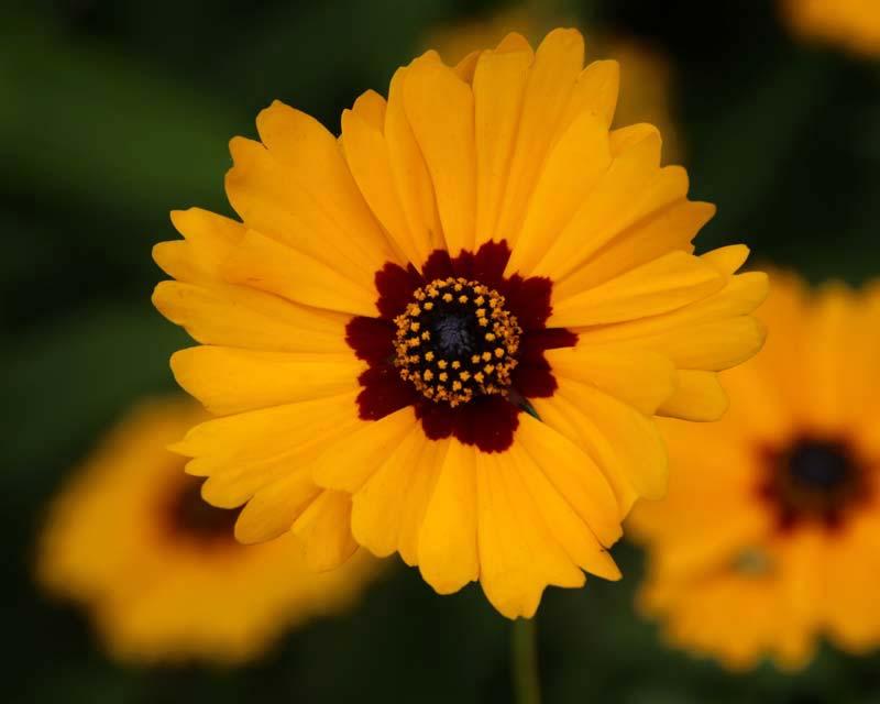 Hidcote Tagetes Marigold