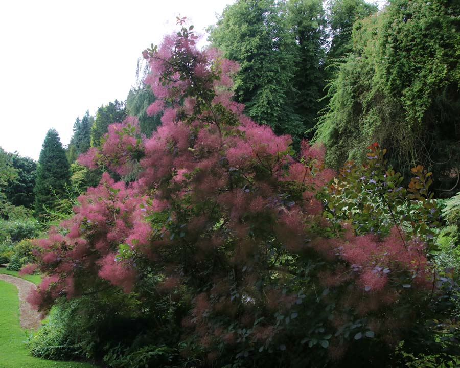 Sezincote Cotinus coggygria, Flaming Smoke Bush