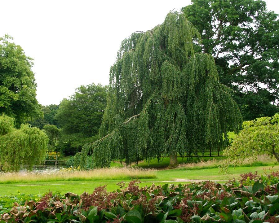 Sezincote weeping tree