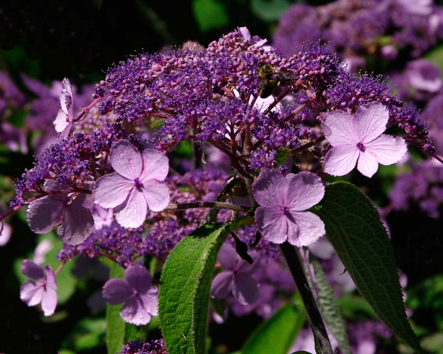 Hydrangea aspera of the Villosa Group add colour Virgins Walk