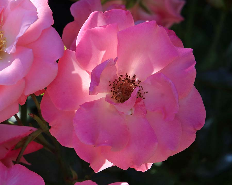 Delicate pink blooms of Rosa 'Anna Livia'