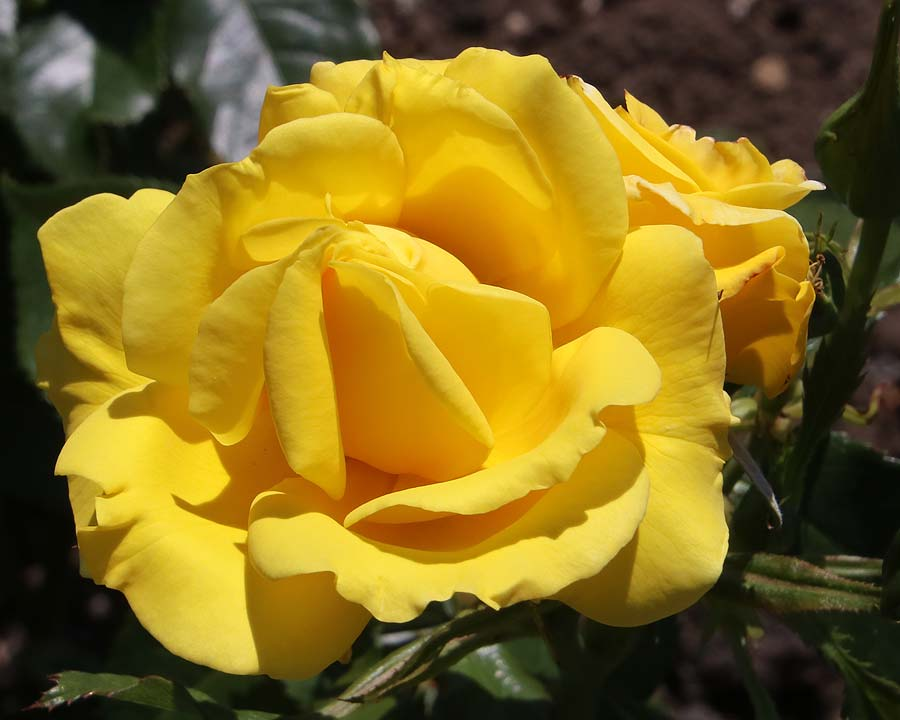 Perfect yellow bloom of Rosa 'Korresia' - Rose Garden Waterperry