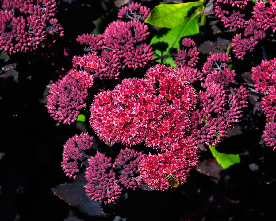 Sedum karfunkelstein - summer borders at Waterperry
