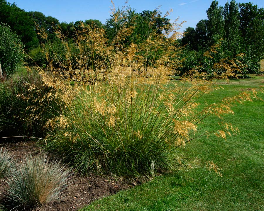 Stipa Gigantea - Waterperry Gardens