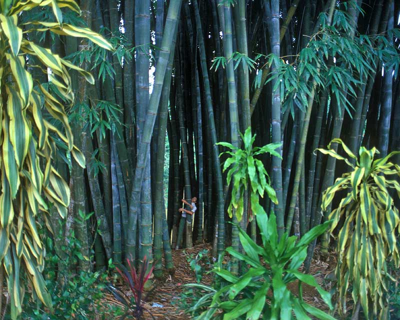 Giant bamboo, almost too thick to hug - Royal Botanic Gardens Peradeniya