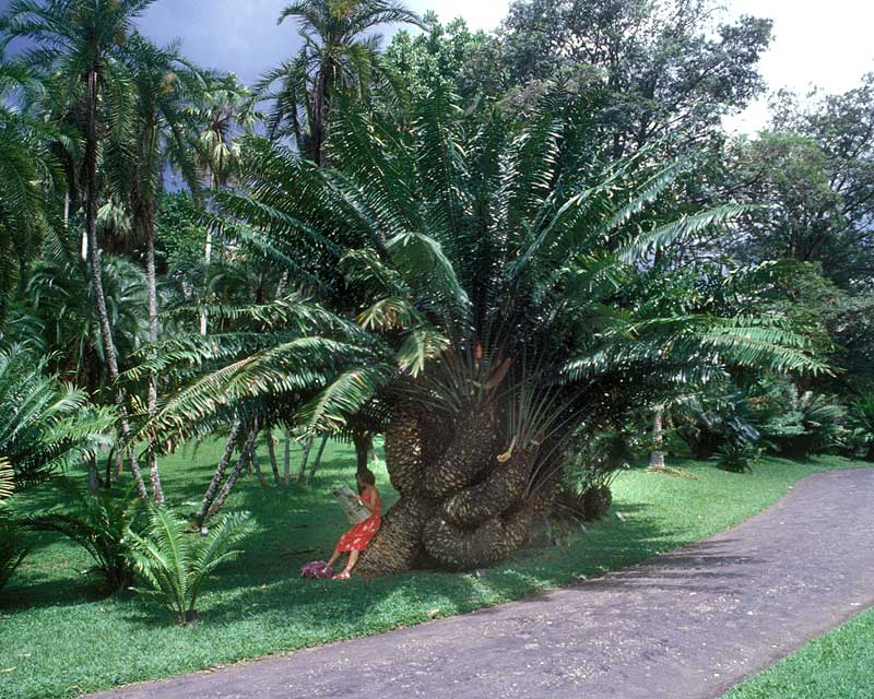 A very contorted palm - Royal Botanic Gardens Peradeniya