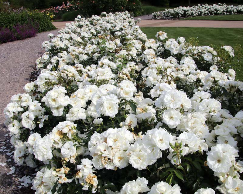 White Flower Carpet Roses