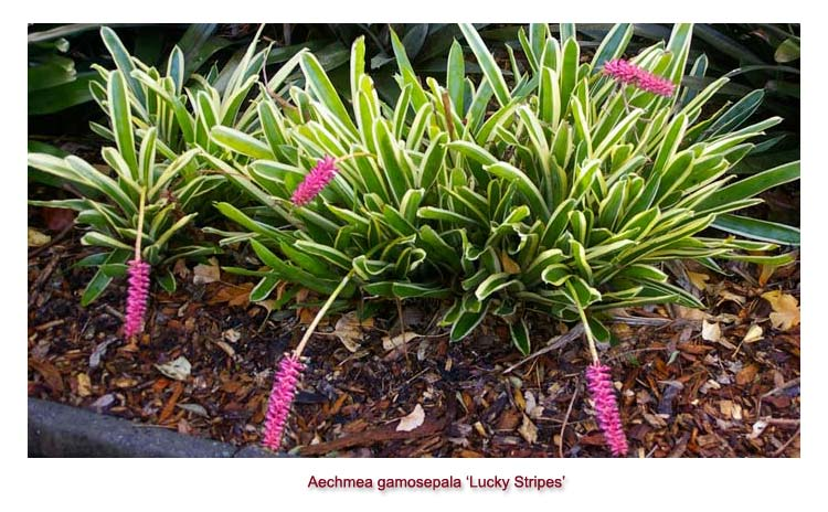 Aechmea gamosepala Lucky Stripes