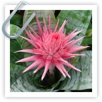 Aechmea - the perfect Indoor/Outdoor plant