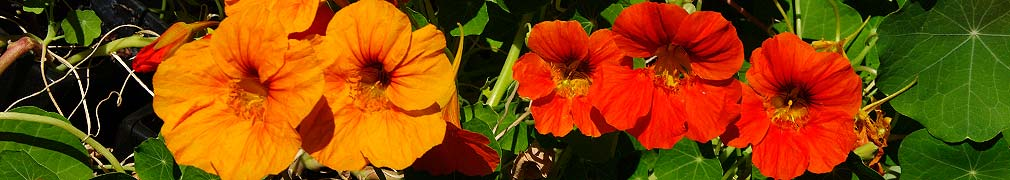 Nasturtiums Red and Gold