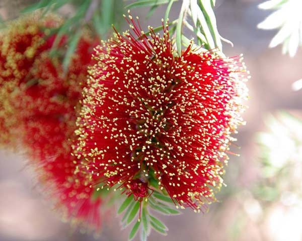 Bottlebrush??