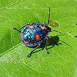Cotton or Hibiscus Harlequin Bug