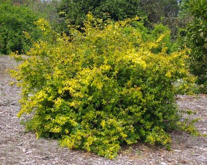Gardensonline Abelia Chinensis
