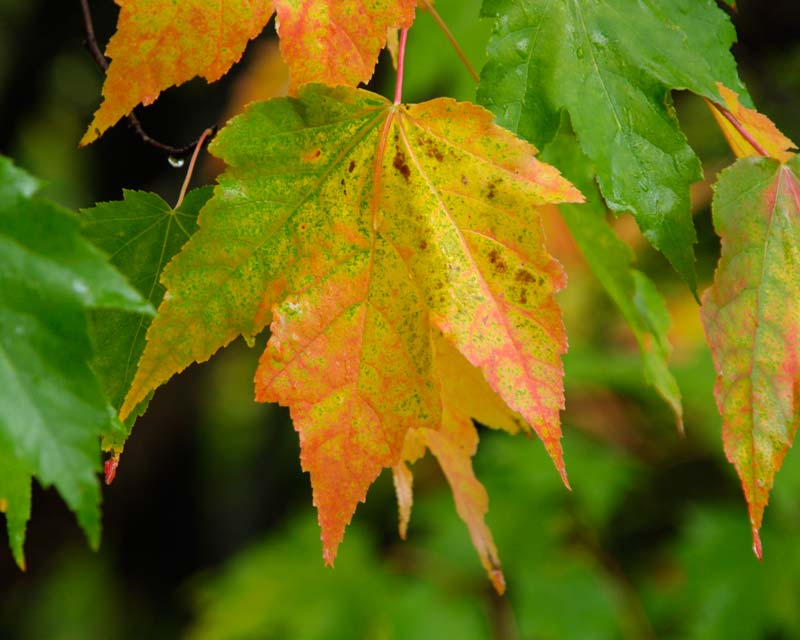 Acer rubrum autumn leaves