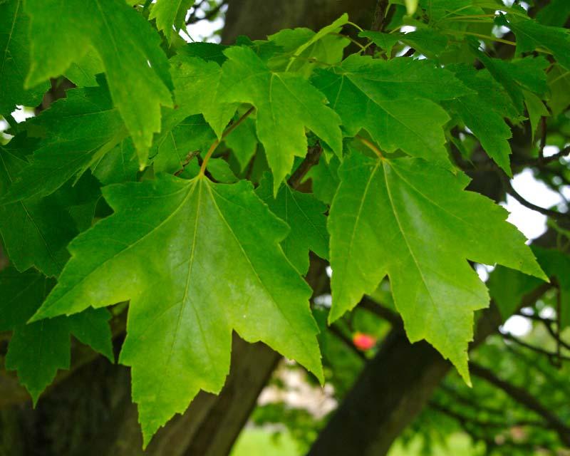 Acer rubrum spring leaves