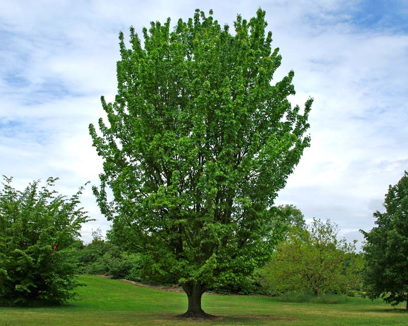 Acer rubrum in spring