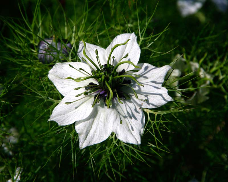 Gardensonline Nigella Damascena