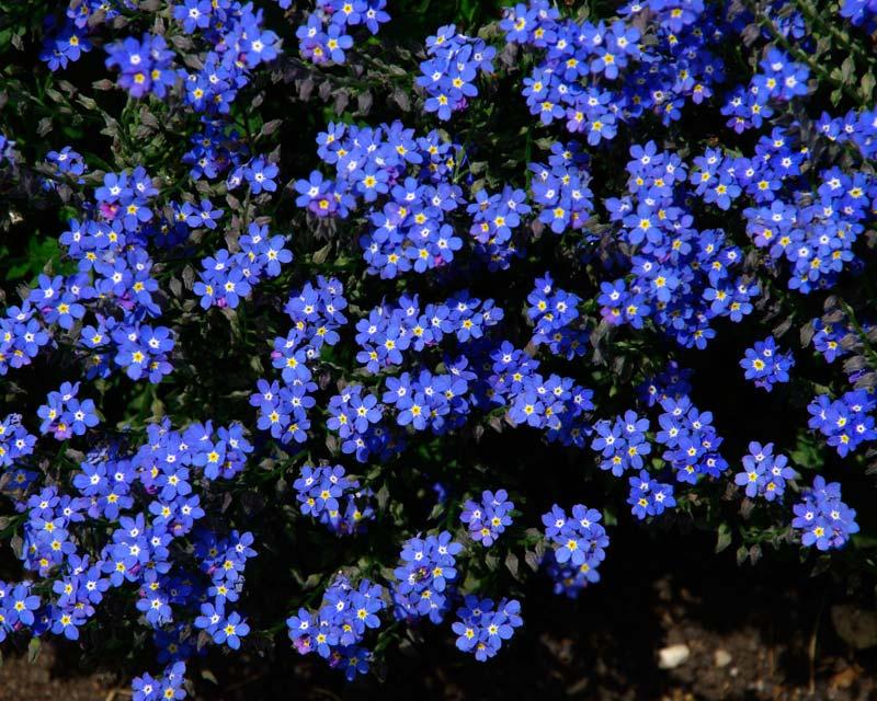Gardensonline Myosotis Sylvatica