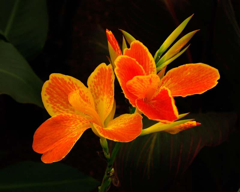 Canna hybrid - Carnival has orange and yellow flowers