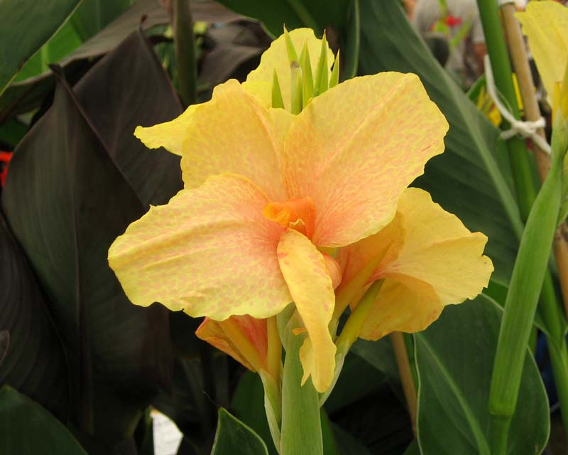 Canna Chou Chou - pale yellow flowers - petals cover with peachy pink flecks