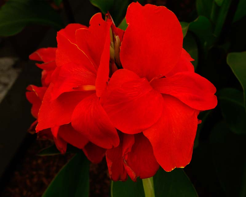 Canna President has tight racemes of red flowers