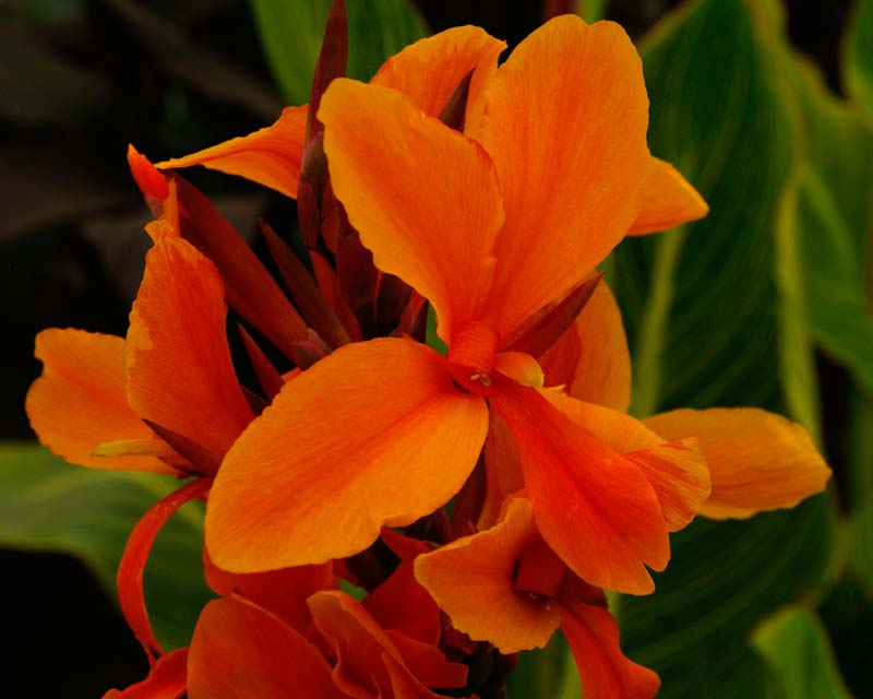 Canna Semaphore - orange and darker orange flowers