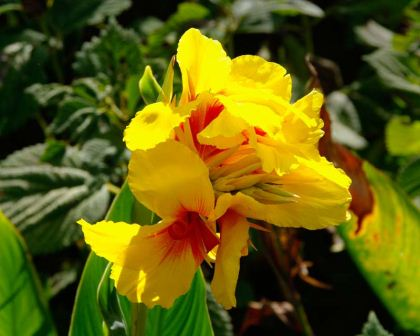 Canna Lily hybrid - yellow and red flowers