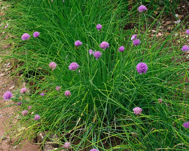 GardensOnline: Allium schoenoprasum