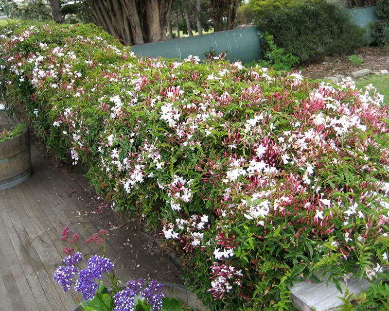 Jaminum polyanthum - trained to climb over low railings